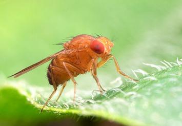 drosophila2s.jpg