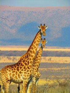 africa-animals-giraffes-54081.jpg