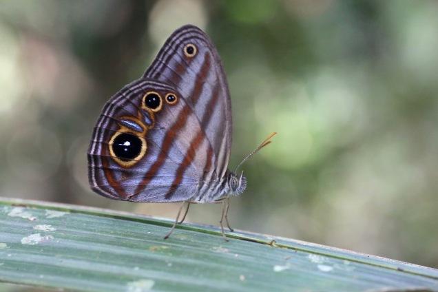 Chloreuptychia_aff._agatha_(Nymphalidae-_Satyrinae-_Satyrini-_Euptychiina)_(30607745245).jpg